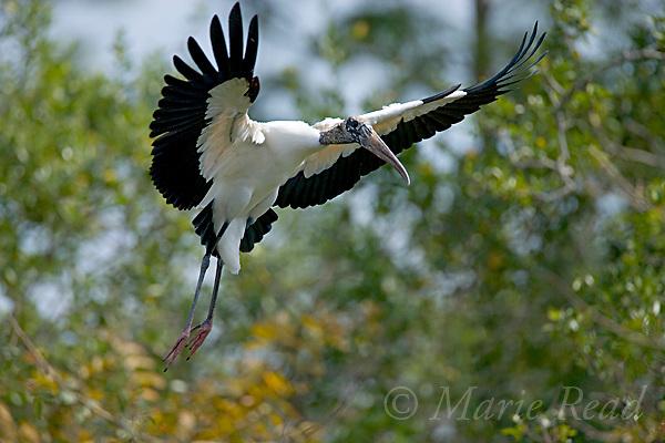 Wood Stork (Mycteria americana), Orlando, Florida, USA