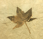 Fossil leaf (Acer lesquereuxi), an ancient maple or sweet gum. Found in the Green River Formation. Eocene period, about 45 million years ago. Douglas Pass, Garfield Co., Colo. (Collection of the Colorado School of Mines Geology Museum. Golden, Colo.)