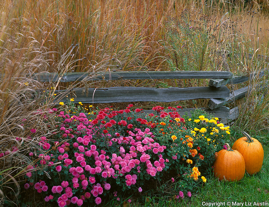 Bureau, County, IL<br /> Fall scene of native prairie grasses, pumpkins, chrysantheums with weathered split rail fence
