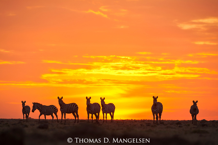 Under a fiery African sunset in Masai Mara, Kenya, a small group of Burchell's zebras continue their endless migration in search of the rains and fresh grasses.