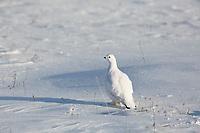 Willow ptarmigan on the snowy tundra of the Alaska Arctic.