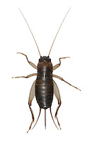 Scaly Cricket - Pseudomogoplistes vincentae