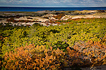 Scrub Oaks turn russet in autumn at Provincelands, Cape Cod National Seashore, MA, USA