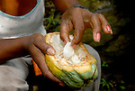 La semilla del cacao va cubierta por una carne lechosa comestible...Chuao. Venezuela. © Juan Naharro