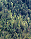 Spruce (Picea sp.), larch (Larix sp.), and pine (Pinus sp.) forests dominate lower mountainsides, Dolomites, Italy <br /> <br /> Canon EOS 5D Mark III, EF70-200mm f/2.8L IS II USM lens, f/10 for 1/80 second, ISO 1600