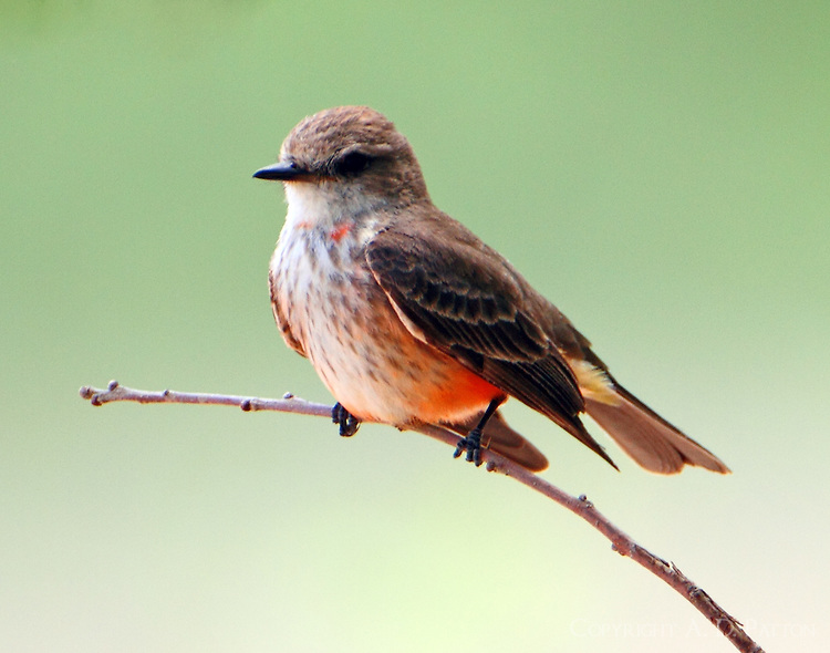 Adult female vermilion flycatcher