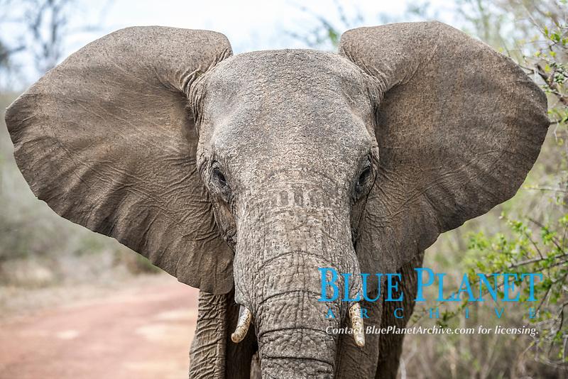 African bush elephant, Loxodonta africana,  Hlane Royal National Park, Eswatini, Swaziland, Africa