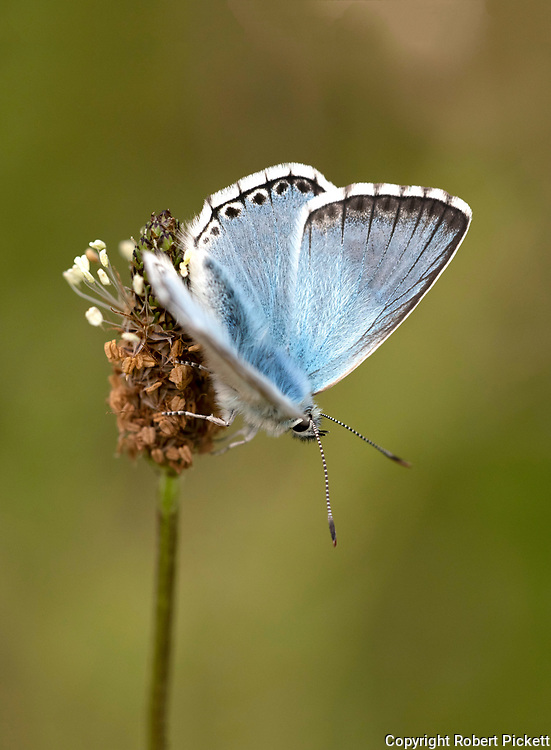 Chalkhill Blue Butterfly, Polyommatus coridon, Temple Ewell Nature Reserve, Kent Wildlife Trust, UK