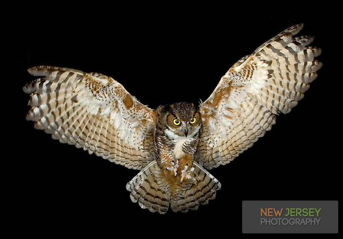 Great Horned Owl, in flight, New Jersey