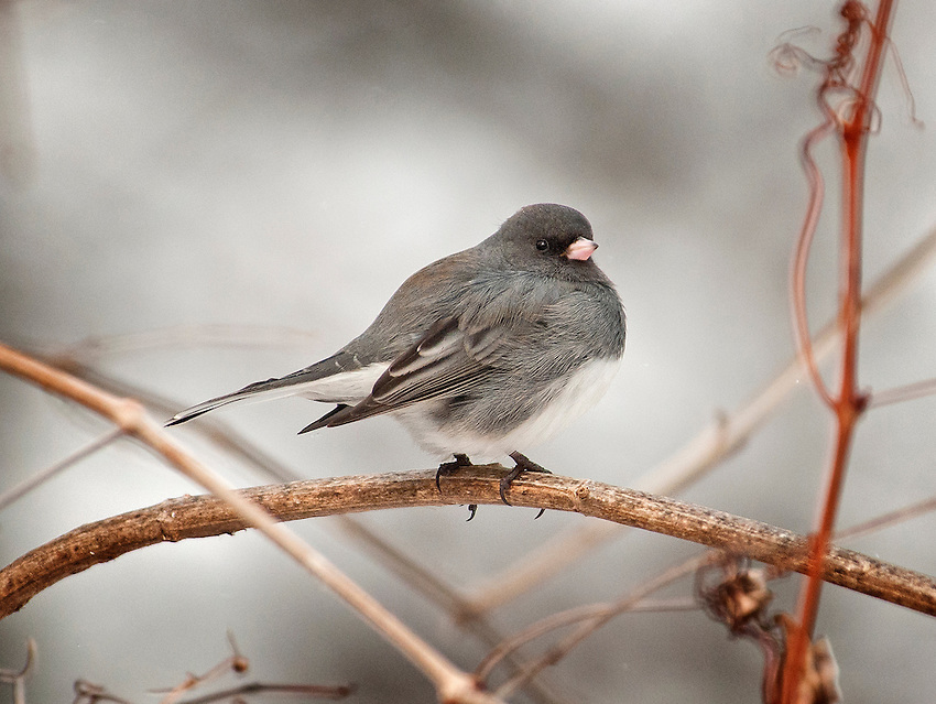 Dark-eyed junco perched on branch in winter