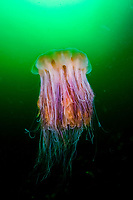 Fried Egg Jellyfish Phacellophora camtschatica Southeast Alaska