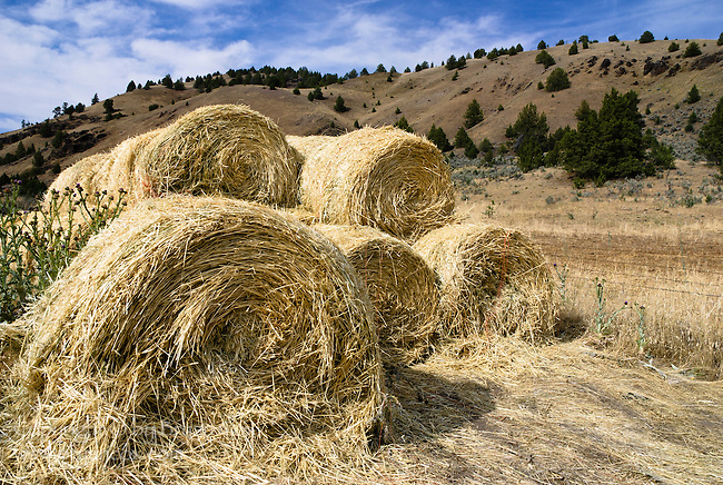 Straw, central Oregon