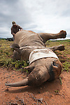 Tranquilised white rhino, prior to surgery to repair injury, Kwandwe private game reserve, Eastern Cape, South Africa