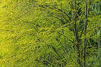 Spring leaves on a katsura tree