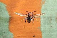 A hornet hovering in front of a hive.///Vol stationnaire d'un frelon devant une ruche.
