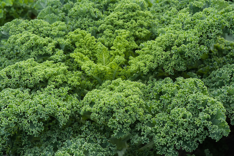 Borecole or curly kale 'Westland Winter', early September.