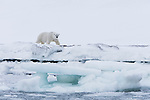 Norway, Svalbard, male polar bear walking along frozen fjord shore