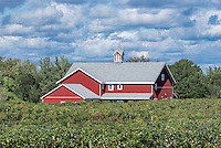 Vineyard and barn, North East, Pennsylvania, USA.