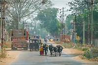 Cows share the road with all types of vehicles in the countryside villages of Rajathan.