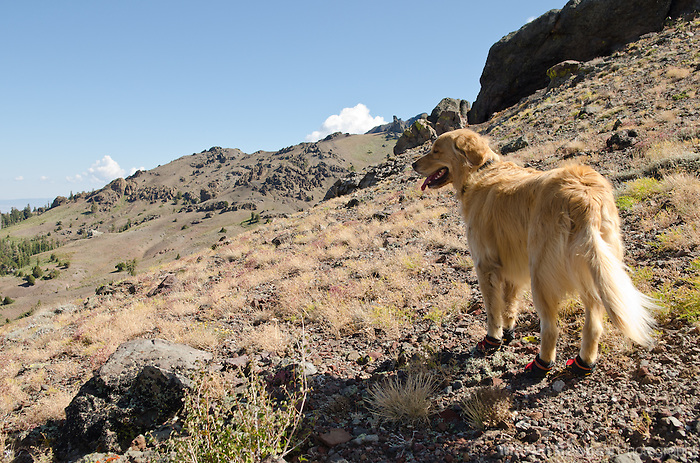 Dog (golden retriever) hiking in dog booties in the mountains, Sierra Nevada, Toiyabe National Forest, California