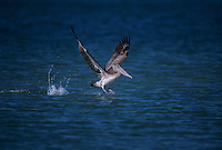 Brown Pelican, Pelecanus occidentalis,immature taking off, Sanibel Island, Florida, USA
