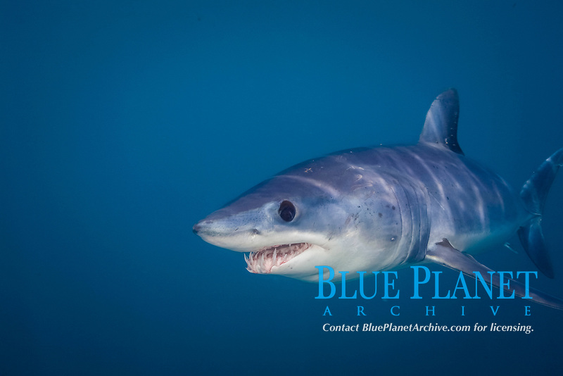 shortfin mako shark, Isurus oxyrinchus, nine-mile bank, San Diego, California, USA, Pacific Ocean