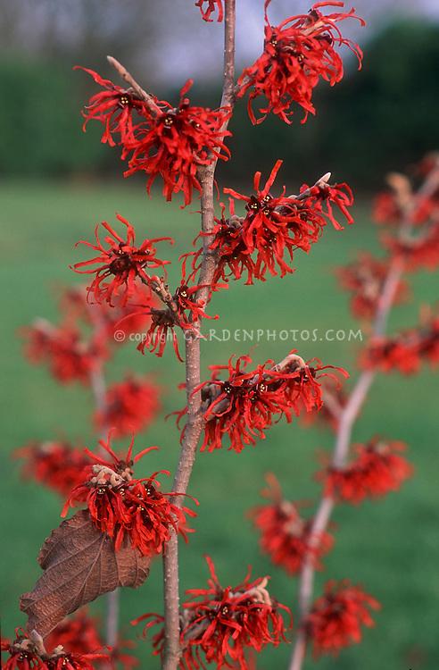 Hamamelis x intermedia 'Diane' witch hazel shrub in winter bloom with red orange flowers