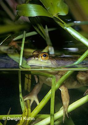 FR04-001a  Bullfrog - adult in pond - Lithobates catesbeiana, formerly Rana catesbeiana