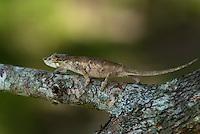 Neuskameleon (Calumma nasutum)