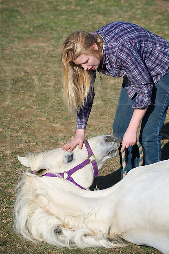 White horse being trained to lay down and remain motionless by his young woman trainer in her twenties, purebred Arabian stallion learning a show trick, rural Pennsylvania, PA, USA.