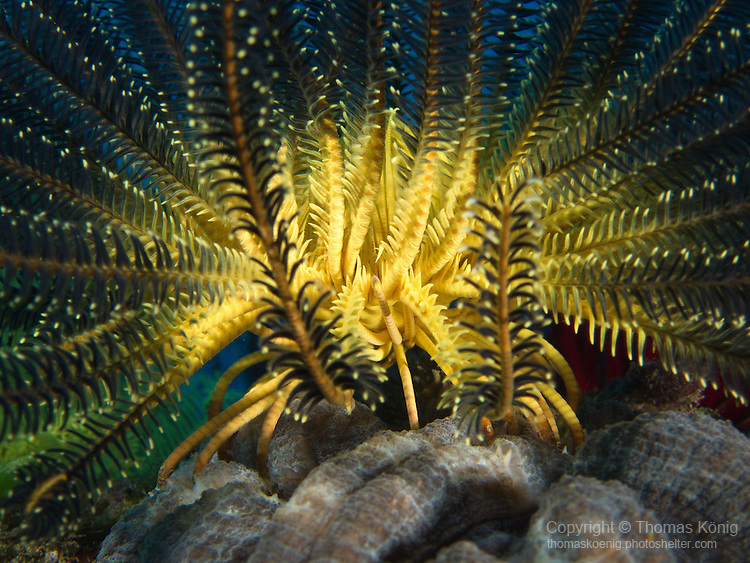 Kenting, Taiwan -- Black and yellow feather star.