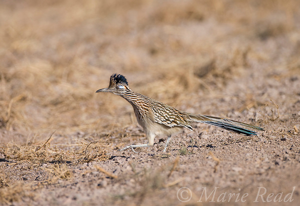Greater Roadrunner (Geococcyx californianus), walking, Bosque Del Apache National Wildlife Refuge, New Mexico, USA