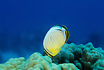 Moorea, French Polynesia; Redfin Butterflyfish (Chaetodon lunulatus), usually in pairs, found in coral rich areas to 30 meters, in the Pacific Ocean region, Indonesia, Malaysian Peninsula, Philippines, New Guinea, Hawaii to French Polynesia. S.W. Japan to N.W. Australia and Great Barrier Reef, to 15 cm , Copyright © Matthew Meier, matthewmeierphoto.com All Rights Reserved