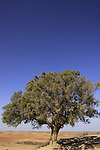 Israel, Negev, Tamarisk trees (Tamarix Aphylla) on Tel Nagila