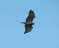 Short-toed Eagle - Circaetus gallicus