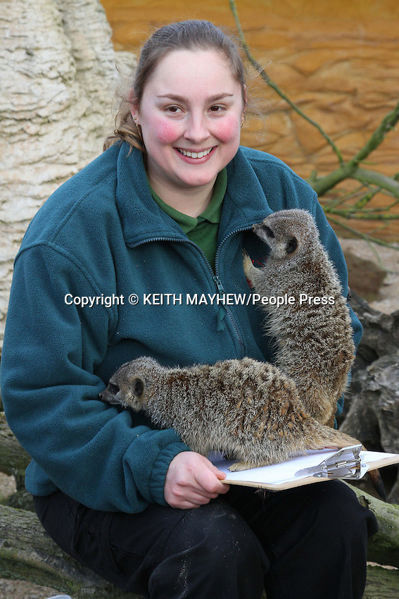 Annual Stocktake of all species at the UK's biggest Zoo, ZSL Whipsnade Zoo, Dunstable, Bedfordshire - January 10th 2012..Keeper with Meercats..Photo by Keith Mayhew