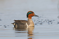 Adult male Green-winged Teal (Anas crecca) in breeding pluamge. Seward Peninsula, Alaska. June.