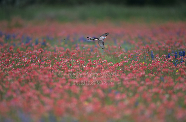 Scissor-tailed Flycatcher, Tyrannus forficatus, female in flight over field of  Wildflowers, Natalia, Texas, USA