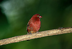 Bar Breasted Firefinch, Lagonsticta rufopicta, red feathers, West Africa