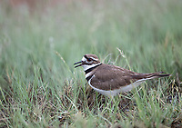 Killdeer are noisy birds that do whatever it takes to distract you from their nests.