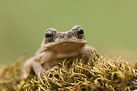 Red-spotted Toad, Bufo punctatus, young, Uvalde County, Hill Country, Texas, USA, April 2006