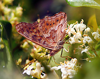 Tawny emperor on ligustrum bloom
