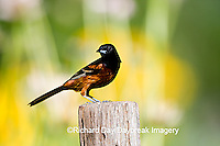 01618-010.02 Orchard Oriole (Icterus spurius) male on fence post in flower garden Marion Co. IL