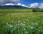 Grant County, OR<br /> Western blue iris (Iris missouriensis), mountain golden-pea (Thermopsis montana) and dried teasel in a meadow under the Strawberry Mts.
