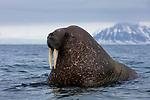 Norway, Svalbard, walrus in ocean, Odobenus rosmarus, portrait