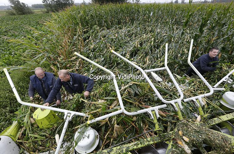 Foto: VidiPhoto<br /> <br /> DODEWAARD &ndash; Loonwerker Weiman uit Ommeren ploegt zich donderdag letterlijk door de platgeslagen ma&iuml;s van melkveehouder Jan-Willem van Rooijen uit Dodewaard. Zeker de helft van de 31 ha. ma&iuml;s is door de storm van woensdag verwoest, ruim een week voordat de ma&iuml;soogst van start zou gaan. Donderdag wordt er door vervroegd te hakselen geprobeerd nog zoveel mogelijk van de geplette ma&iuml;s te redden. De regen heeft het veevoer echter doorweekt, zodat de hakselaar er nauwelijks doorheen komt. Alles laten liggen betekent echter dat de kolven gaan schimmelen. Te vroege oogst houdt echter wel in dat een deel van de voederwaarde verloren gaat. Ook op andere plekken in ons land is door de storm veel van het &lsquo;topzware&rsquo; gewas platgeslagen.