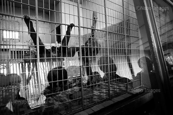 Wroclaw, Poland, April 5, 2009:<br /> Visitors watching orangutan named Tumku, at the Wroclaw Zoo.(Photo by Piotr Malecki / Napo Images)..Orangutan Tumku i odwiedzajacy go ludzie w Zoo..Wroclaw, Kwiecien 2009.Fot: Piotr Malecki / Napo Images