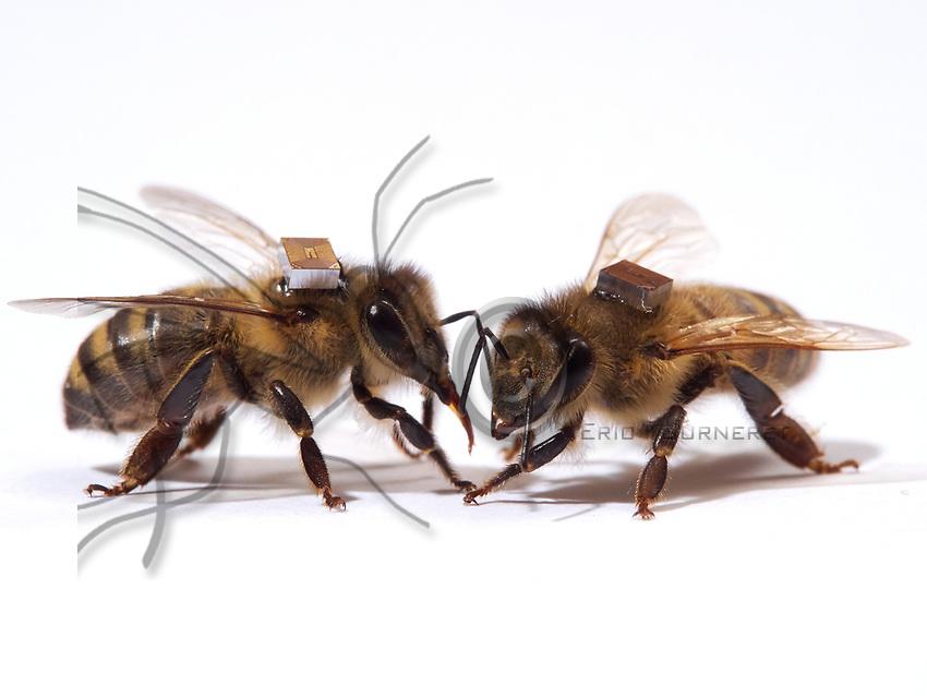 The microchips are used by researchers to mark the bees and  identify them by a scanner at the entrance to the hive or near the sugar distributors. It is thus possible to monitor the bee's activities on an individual level, such as the hours they leave the hive. <br /> Les puces &eacute;lectroniques sont utilis&eacute;es par les chercheurs pour marquer les abeilles et les identifier par scanner &agrave; l&rsquo;entr&eacute;e de la ruche ou alors pr&egrave;s des distributeurs de sucre. Il est ainsi possible de suivre les activit&eacute;s des abeilles au niveau individuel. Leurs heures de sorties&hellip;