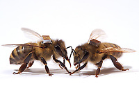 The microchips are used by researchers to mark the bees and  identify them by a scanner at the entrance to the hive or near the sugar distributors. It is thus possible to monitor the bee's activities on an individual level, such as the hours they leave the hive. <br /> Les puces &eacute;lectroniques sont utilis&eacute;es par les chercheurs pour marquer les abeilles et les identifier par scanner &agrave; l&rsquo;entr&eacute;e de la ruche ou alors pr&egrave;s des distributeurs de sucre. Il est ainsi possible de suivre les activit&eacute;s des abeilles au niveau individuel. Leurs heures de sorties&hellip;