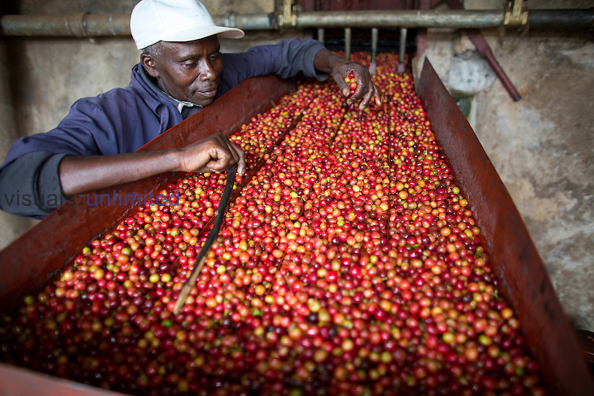 Worker with coffee bean harvest on conveyor belt, Kenya